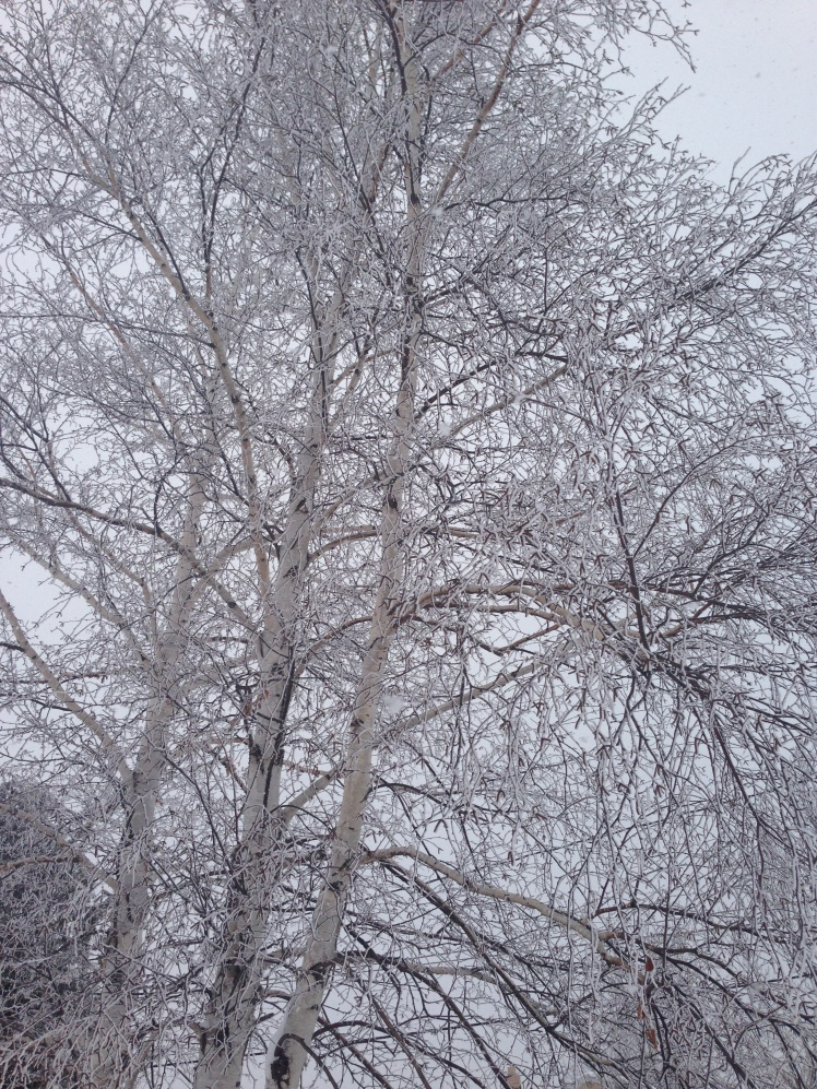 The birch tree in our yard is glistening with fresh snow crystals.