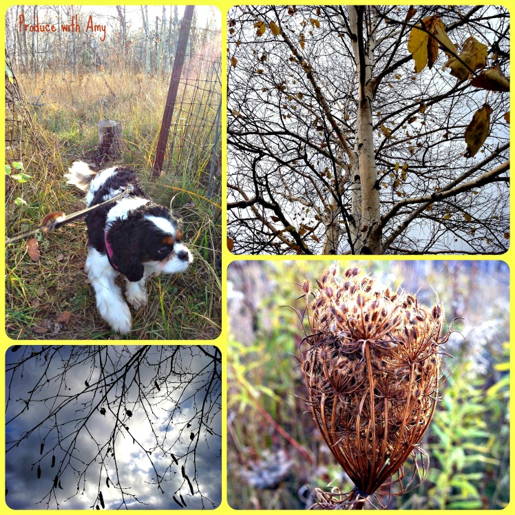 I have been enjoying Autumn walks with Phoebe.
