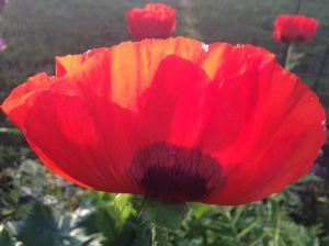 A poppy from my summer garden