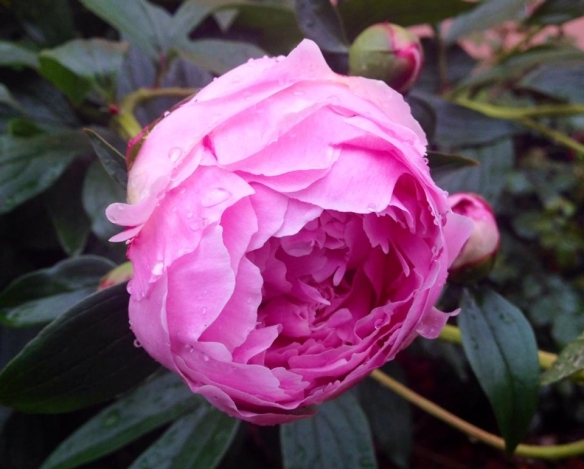 My light pink peonies loved today's rain and started to unfurl.