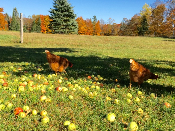 Our hens love to feast on the fallen apples.