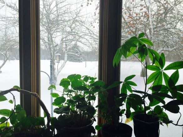 In spite of the snow and cold, our days are getting longer and our plants are flourishing from the increase in light.