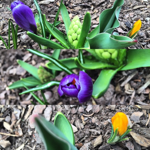 Finally the sign of spring that I was looking for in our yard. The bulbs that I planted in the fall are starting to awaken.