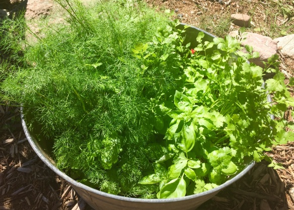 Lukas helped me plant basil, dill, and cilantro in an old tin tub and it is flourishing!