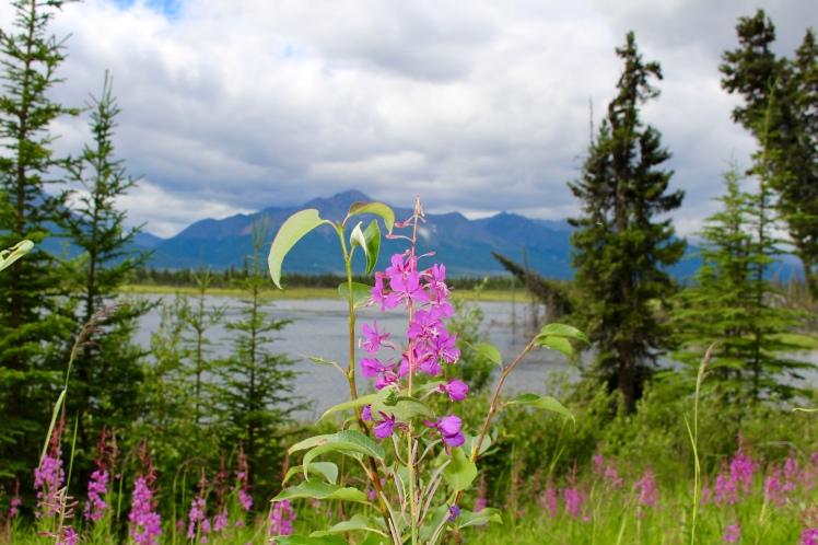 Alaskan Fireweed and Mountains