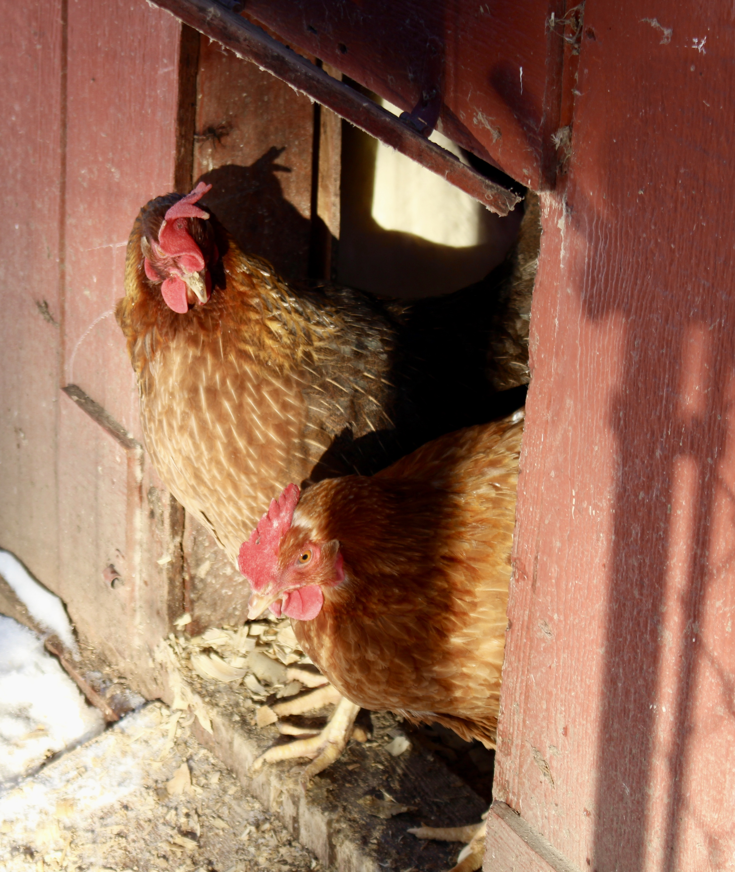 On sunny days we open up the chicken coop so our sweet hens can sun themselves.